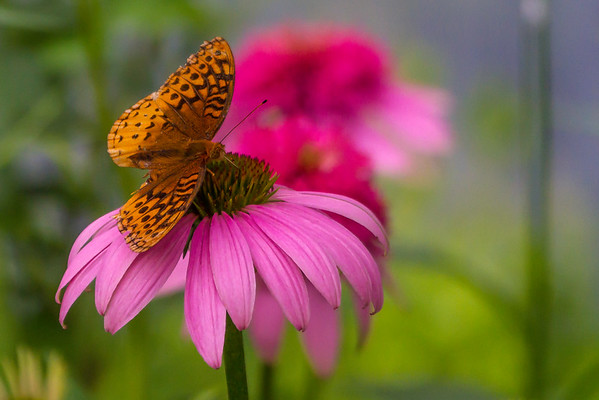 A Great Spangled Fritillary Butterfly On A Prairie Cone Flower At The Wegerzyn Gardens Preserve In Dayton Ohio 6-30-2015