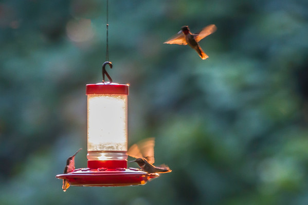 Hummingbirds Feeding In The Evening Light In New Carlisle Ohio 6-30-2015