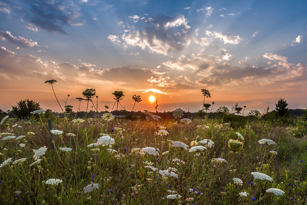 Wildflowers Greeting The Morning Sun In New Carlisle Ohio 7-28-2015