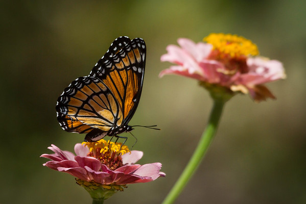 A Viceroy Butterfly On A Zinnia Flower At The James Ranch Gardens Xenia Ohio 8-24-2015