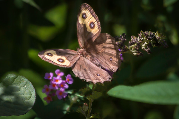 A Common Wood-Nymph Butterfly At The James Ranch Gardens Xenia Ohio 8-24-2015