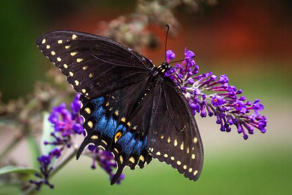 A Black Swallowtail Butterfly On A Butterfly Bush At The Wegerzyn Gardens Metropark Dayton Ohio 8-20-2015